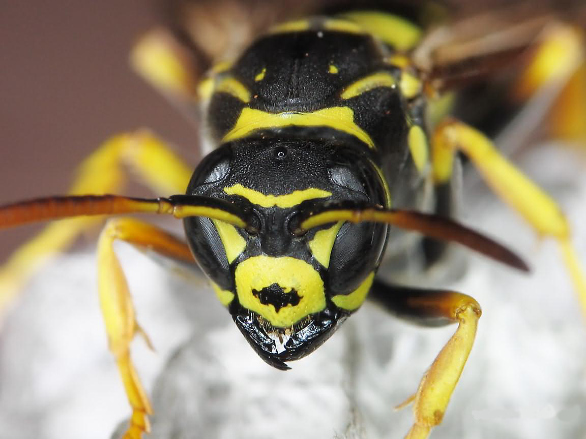 exterminating paper wasps Wasps species are a great source of organic pest control on gardens, farms, and crops there are generally two types of wasps, solitary and social wasps social wasp species live in large numbers.
